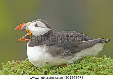 Atlantic Puffin, Fratercula arctica, in the rain sitting on a grassy cliff with beak open in threat display, Skomer Island, Pembrokeshire, Wales, UK - stock photo