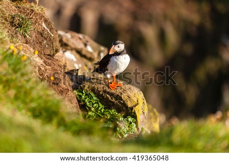 Atlantic puffin -fratercula arctica- on a coast cliff in Western Iceland - stock photo