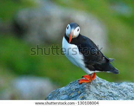 Atlantic Puffin or Common Puffin, Fratercula arctica, Norway - stock photo