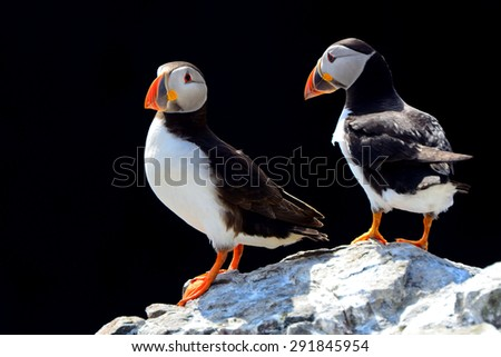 Atlantic puffins, Farne Islands Nature Reserve, England - stock photo