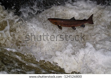 Atlantic Salmon (Salmo salar) leaping in turbulent waterfalls in Perthshire, Scotland