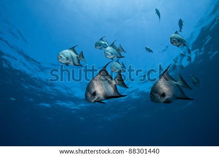 Atlantic Spadefish (Chaetodipterus faber) swimming over a tropical coral reef off the island of Roatan, Honduras. - stock photo