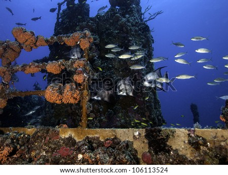 Atlantic Spadefish swimming on the coral encrusted shipwreck USCG Duane in Key Largo, Florida in the John Pennekamp State Park. - stock photo