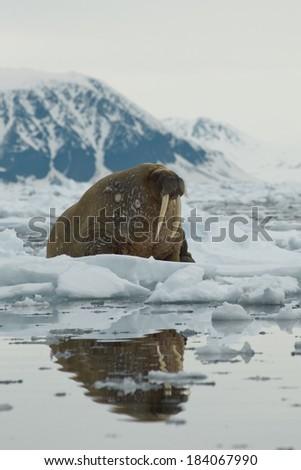 Atlantic walrus, Rosmarus rosmarus, on ice flows, Svalbard Norway - stock photo
