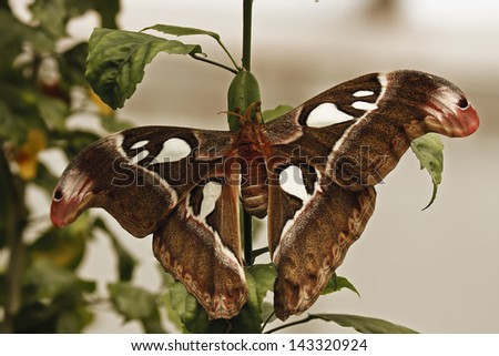 Atlas Moth (Attacus atlas) - stock photo