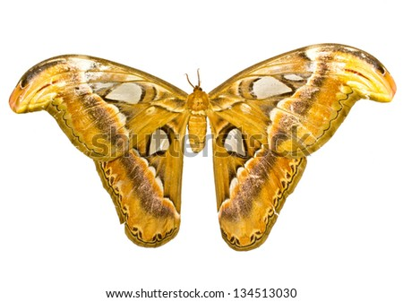 Atlas Moth (Attacus atlas) isolated on white background - stock photo