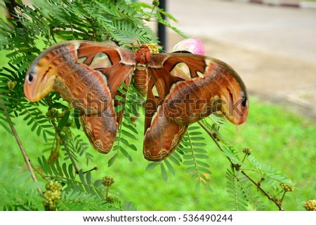 Atlas moth - Attacus atlas on a tree branch at Gavi, Kerala. A large saturniid moth found in the tropical and subtropical forests of India and Southeast Asian countries. The largest moth in Asia,
