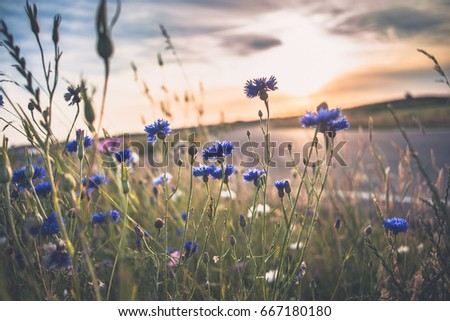 Atmospheric field flowers at the end of spring during a warm summer evening. The sun gives a beautiful beam of light along the cornflowers with white and blue colors