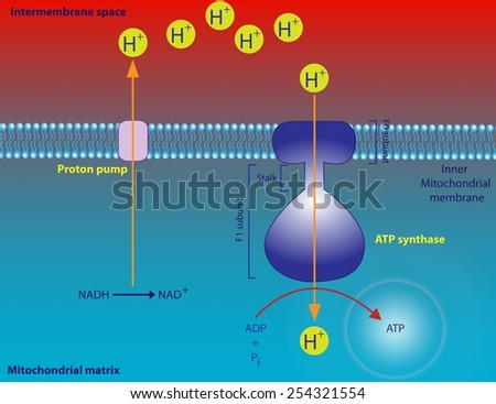 ATP synthase - stock photo
