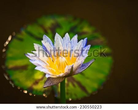 Atrans lotus flower australian giant lotus stock photo 230550223 atrans lotus flower australian giant lotus mightylinksfo