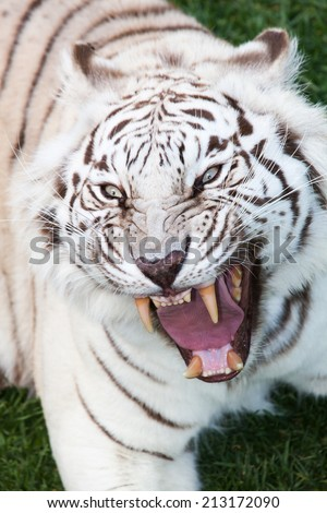 attack of an angry black striped white bengal tiger with open muzzle, showing his teeth - stock photo
