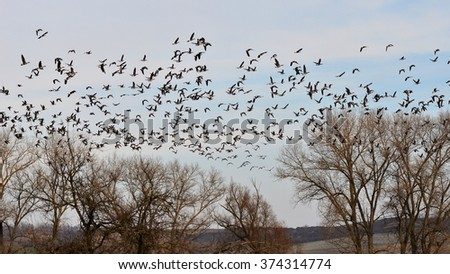 attack of wild gooses - stock photo