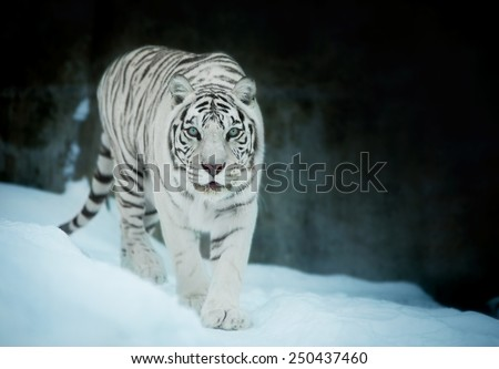 Attention in eyes of a white bengal tiger, walking on fresh snow in winter forest. The most beautiful animal and very dangerous beast of the world. Animal portrait on rocky background. - stock photo