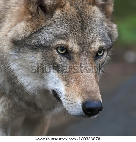 Attention in the eyes of a young, two year old, european wolf female. Face portrait of a forest dangerous beast, Canis lupus lupus, on blur background. Beauty of the wildlife. - stock photo