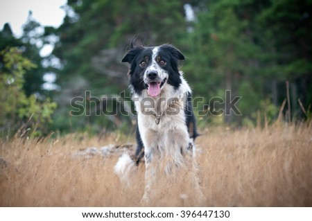 Attentive bordercollie outdoors waiting for a comand