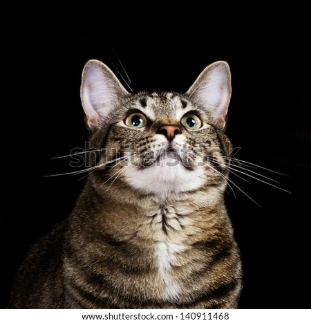Attentive Cat with Black Background - stock photo