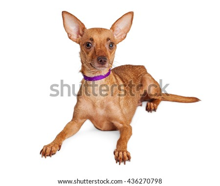 Attentive Chihuahua crossbreed dog with big ears and purple collar.