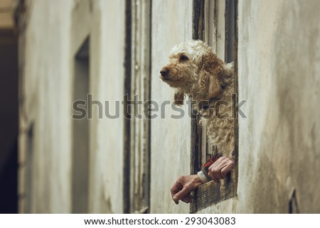 Attentive cute golden poodle dog sitting on a window sill between the owner's hands. Dog with human hands illusion. Dog and human symbiosis.
