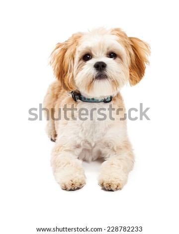 Attentive Maltese Mix Breed Dog laying with outstretched legs while looking into the camera.