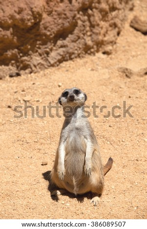 Attentive meerkat learning tourists