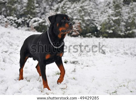 attentive purebred rottweiler upright in the snow