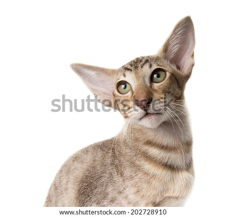 attentive serious tabby ginger oriental kitten close-up isolated on white. looking into left. copy space - stock photo