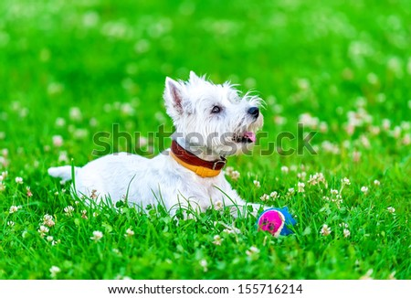 attentive West highland white terrier with ball dog toy on green grass and clover background  - stock photo
