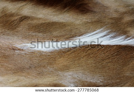 attractive fur or hide of the african impala - stock photo