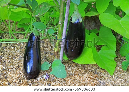 Aubergines (Solanum Melongena) On The Plant In The Garden Patch