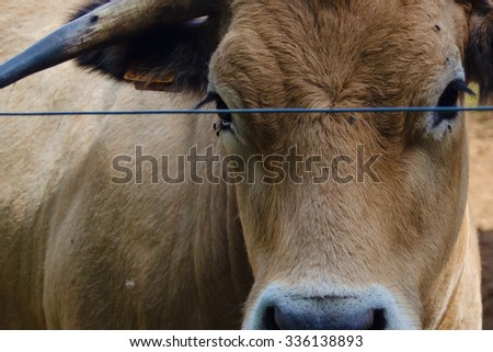 Aubrac french cattle herding in natural environment