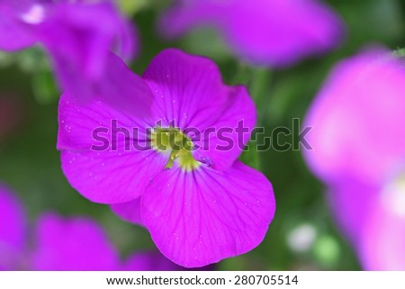 aubrietien - stock photo