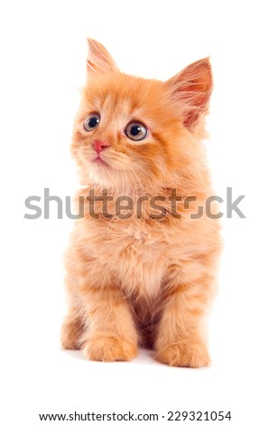 Auburn kitten. Isolated. - stock photo