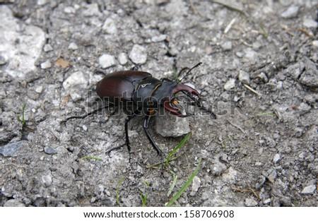 AUGUST 2009 - SWITZERLAND: a stag beetle (Hirschkaefer) in the Swiss Alps.