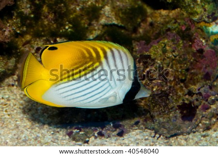 Auriga Butterflyfish - stock photo