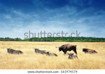 Aurochs or European Buffalo (Bos primigenius) in Hortobagy, Hungary. - stock photo