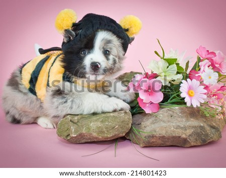 Aussie puppy dressed up in a bee outfit on a pink background.