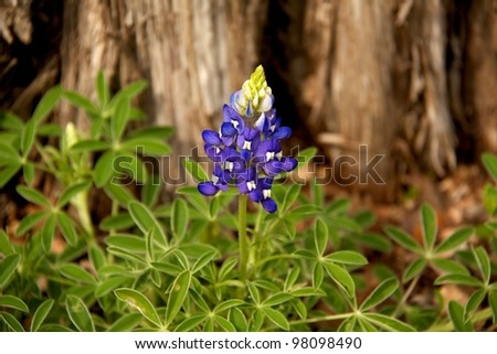Austin, TX - March 9: SXSW Interactive Conference in Austin. Beautiful flower blooming in Austin during spring time.