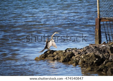 Australasian darter or Australian darter (Anhinga novaehollandiae)   in  darter family drying its wings on a  granite  rock   in  Leschenault Estuary , Bunbury Western Australia  on a  winter  day.