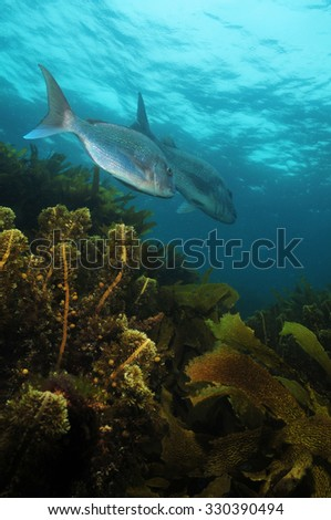 Australasian snapper Pagrus auratus in the waters around New Zealand.