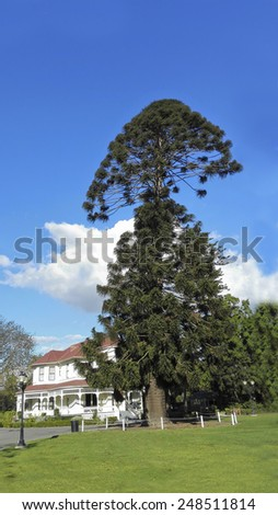 Australia Bunya-Bunya Pine, a large evergreen coniferous tree that is unusual guest at historic Camarillo Ranch in Southern California - stock photo