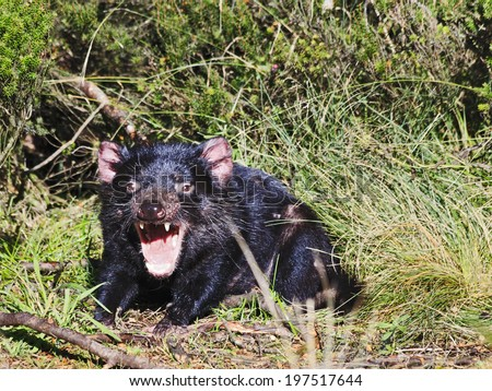 Australia Tasmania devil with wide open mouth famous endemic marsupial in cradle mountain national park wild life sunny day - stock photo