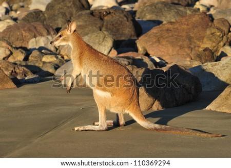 Australian agile wallaby on beach, cape hillsborough, mackay, north queensland. small exotic mammal kangaroo on tropical sandy hideaway - stock photo