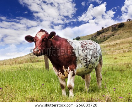 Australian agriculture farm with single steer against green grazing pasture in fenced paddock on a sunny day - stock photo