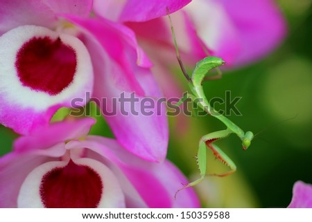 Australian baby giant rain forest praying mantis on a pink orchid  - stock photo