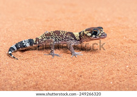 Australian Barking Gecko on red sand/Gecko/Australian Barking Gecko (Underwoodisaurus Milii) - stock photo