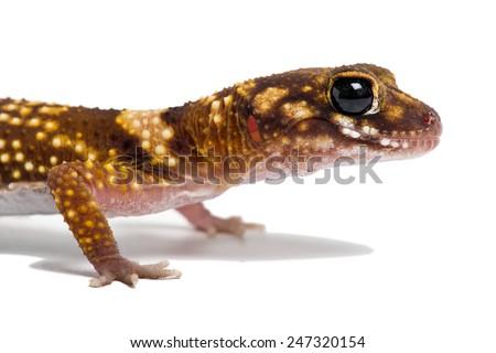 Australian Barking Gecko on white background/Gecko/Australian Barking Gecko (Underwoodisaurus Milii) - stock photo