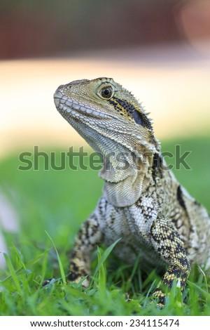 Australian Bearded Dragon Lizard sunning itself - stock photo