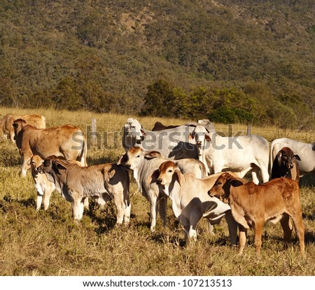 Australian beef cattle Brahman heifers and cows