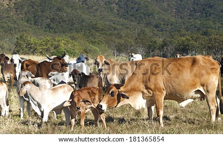 Australian beef cattle herd of cows on ranch with brahman calfs - stock photo