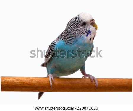Australian Blue Parrot isolated on the white background - stock photo